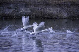 No.146631 白鳥