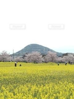 里山の春、菜の花と桜の写真・画像素材[3445549]