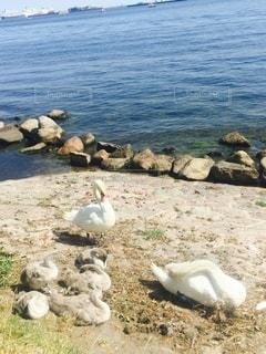 デンマークの海辺で見つけた白鳥のファミリーの写真・画像素材[3472350]