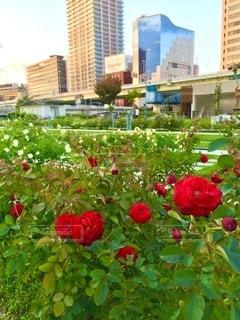 都会のオアシス中之島公園、ビル群と真っ赤なバラの写真・画像素材[3555170]