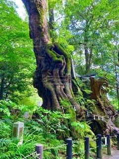新緑が鮮やかな熱海来宮神社の御神木、大楠の写真・画像素材[3558083]