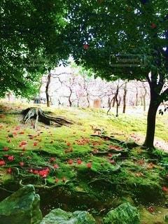 京都城南宮、落ち椿としだれ梅の明暗の世界の写真・画像素材[3570944]