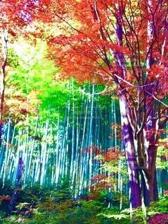 日差しの差し込む緑の竹林と真っ赤な紅葉の写真・画像素材[3571014]