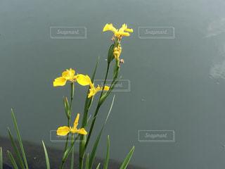 善福寺池の黄菖蒲の写真・画像素材[3456953]