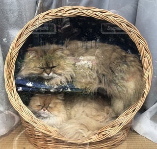 かごの中に座っている猫、の写真・画像素材[3459213]