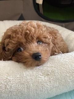 ベッドに横たわっている犬の写真・画像素材[3446733]
