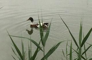 湖の水鳥の写真・画像素材[3448205]