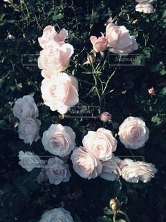 ピンクの薔薇の写真・画像素材[3734039]