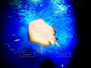 京都水族館のマンタの写真・画像素材[879673]