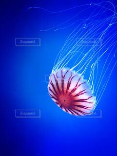 漂うアカクラゲの写真・画像素材[879675]