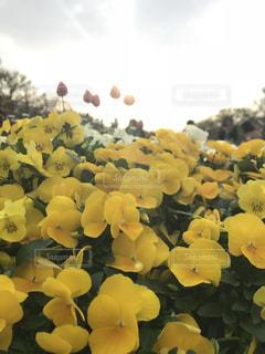 近くの花のアップの写真・画像素材[1137113]