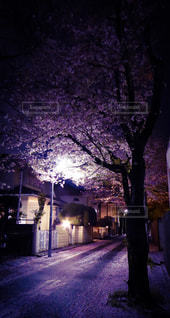 桜の写真・画像素材[285483]