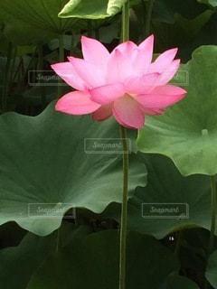 蓮の花のクローズアップの写真・画像素材[3501097]