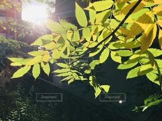 夏の夕陽に光るナナカマドの写真・画像素材[3537441]