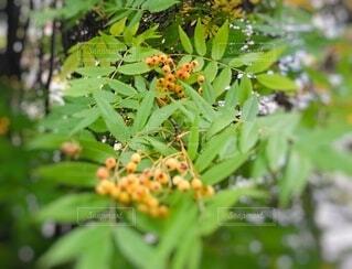 秋のナナカマドの写真・画像素材[3681475]