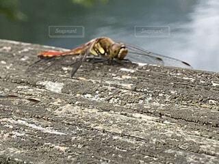 水の体の上に座っているとんぼの写真・画像素材[3619314]
