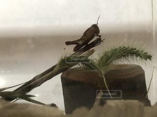 枝に佇むバッタの写真・画像素材[3530699]