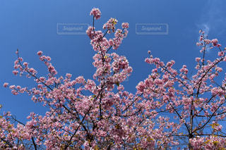 桜の写真・画像素材[380334]