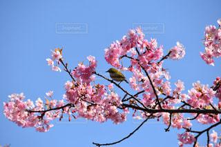 桜の写真・画像素材[446115]