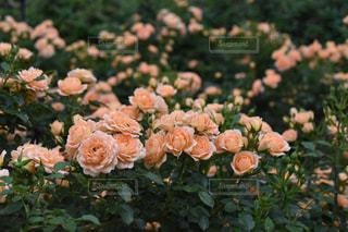 #薔薇の写真・画像素材[483139]