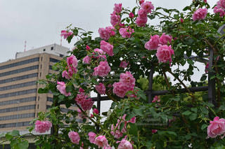 ピンク - No.484970