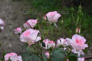 ピンク - No.485011