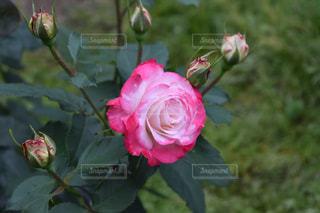 ピンクの写真・画像素材[485475]