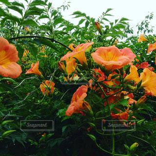 オレンジの写真・画像素材[564633]
