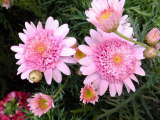 冬咲きのピンクのマーガレットシェリエメール - No.903629