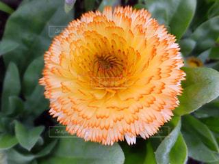 キンセンカのアップ淡いオレンジ色の写真・画像素材[904778]