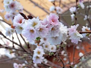 高槻の散歩道で咲いていた冬桜の写真・画像素材[906258]