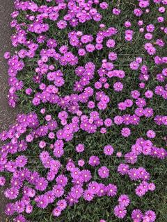 初夏に咲くキクのようなマツバギクの写真・画像素材[2158169]