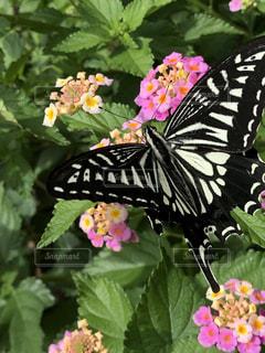 ランタナとアゲハ蝶の写真・画像素材[2230535]