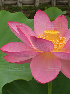 朝方のハスの花は元気で美しいの写真・画像素材[2278842]