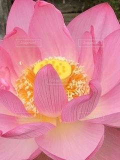 新川遊歩道とハスの花の写真・画像素材[3384303]