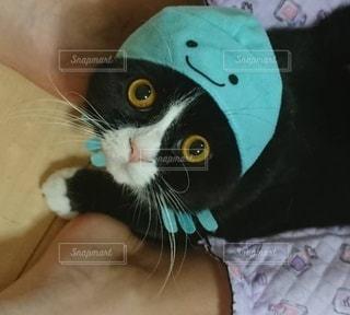上目遣いの猫の写真・画像素材[3473810]