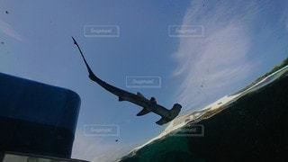 空飛ぶハンマーヘッドシャークの写真・画像素材[3475518]