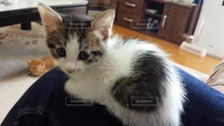 ハートマークの子猫の写真・画像素材[3479432]