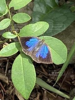 青い蝶の写真・画像素材[3700875]