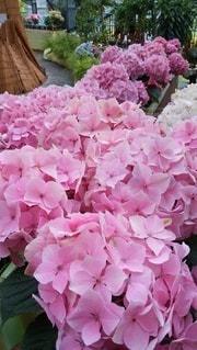 ピンクの紫陽花の写真・画像素材[3478700]