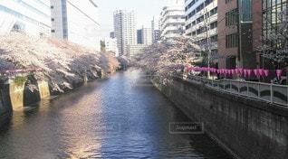 目黒川の桜の写真・画像素材[3524429]