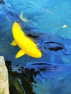 餌を求めて集まる鯉たちの写真・画像素材[3681964]
