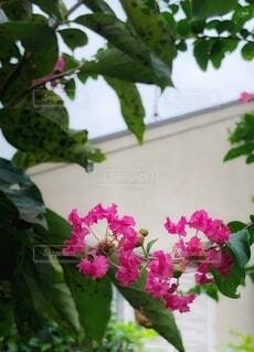 サルスベリのクローズアップの写真・画像素材[3709707]