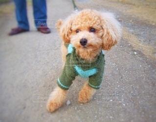 暖かそうなセーターを着たトイプードルの冬散歩の写真・画像素材[3845218]