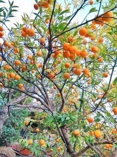 たわわに実った蜜柑の木の写真・画像素材[4086040]
