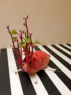 まるで動物みたいな芽が出てきたサツマイモの写真・画像素材[4170056]