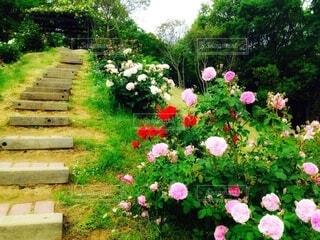 薔薇の散歩道の写真・画像素材[4200113]