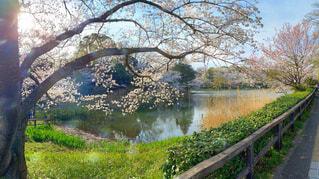 西日が差し込む池のほとりの桜の写真・画像素材[4286942]
