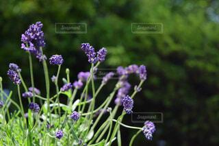庭のラベンダーのクローズアップの写真・画像素材[4378222]