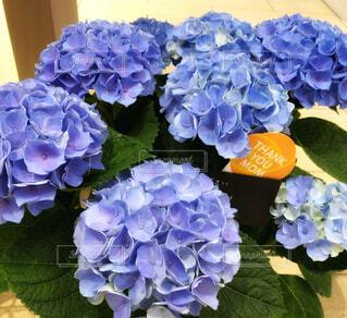 母の日にプレゼントされた鉢植えの紫陽花の写真・画像素材[4405437]